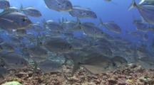 A Huge School Of Bigeye Trevally Swimming Together Above A Tropical Coral Reef Floor. Jacks Swim Towards And Through The Frame Shallow To The Sea Floor.