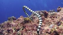 A Single Yellow Lipped Sea Krait Swimming Close To Camera Over Tropical Coral Reef.