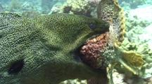 Giant Moray Eel Carries A Large Stone Fish It Just Caught