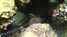 Giant Moray Eel Feeding On A Large Stone Fish It Just Caught