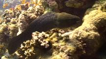 Giant Moray Eel Free Swimming Along Coral Reef Wall