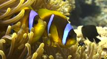 Two Clown-Fish Inside Their Anemone