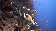 School Of Masked Puffer Fish Swimming Along A Coral Reef Wall
