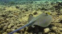 Blue Spotted Stingray Swimming Over Coral Reef