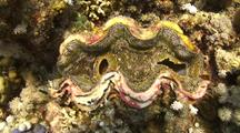 Giant Clam Lying On Coral Reef