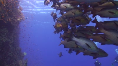 Large School Of Snappers Grouped Together Next To A Vertical Coral Reef Wall
