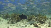 Large School Of Juvenile Parrot Fish Swimming Around Coral Reef With Trigger Fish Trying To Fend Them Off