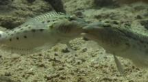 Rare! Fighting Lizard Fish, Mouths Interlocked, Camera Pans In To Close Up.