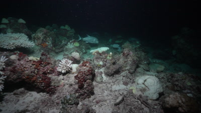 Giant Trevally and Nurse Shark hunting on coral reef at night