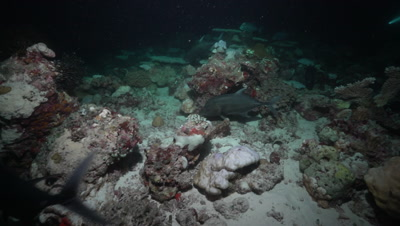 Giant Trevally hunting on coral reef at night