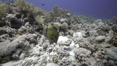 Titan Triggerfish on coral reef