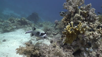 Masked Pufferfish swimming over coral reef
