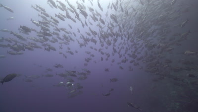 School of Two-spot red snapper swimming in blue water