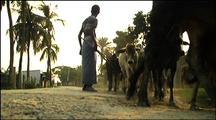 Bengali Drive Cattle