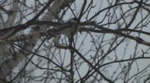 Black-Capped Chickadee In Winter Birch Tree, Fluffs, Shakes, Wipes Beak, Exits