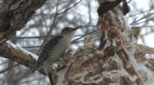 Red-Bellied Woodpecker Eating Suet From Deer Carcass