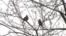 Cedar Waxwings In Crab Apple Tree In Spring, One Exits, Other Moves Down Branch