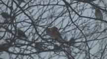 Purple Finch In Tree During Blizzard, Goldfinches Coming, Going, Behind