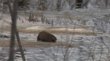 Muskrat Feeding On Pond Weed Roots, Exits, Ice And Snow On Pond Surface