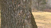 Northern Flying Squirrel On Side Of Tree In Daylight, Blinking In Bright Sunlight
