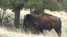 American Bison, Rubbing Head On Small Tree, Badlands
