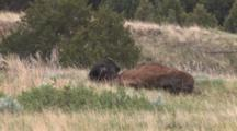 American Bison Rolling On Ground
