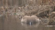 Canada Goose, Gander, Lying Prone In Water, Trying To Hide From Intruders, Mate On Nest Nearby