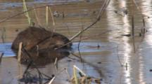 Muskrat Swimming In Pond, Stops With Vegetation In Teeth, Peels, Rapidly Consumes Vegetation Roots
