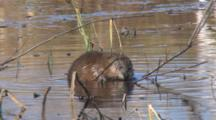 Muskrat Feeding, Peels, Rapidly Consumes Emergent Vegetation Root, Exits Right