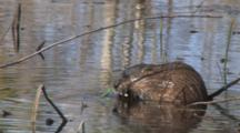 Muskrat Feeding On Pond Weed Roots, Finishes, Turns, Exits