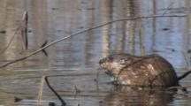 Muskrat Feeding On Vegetation Roots, Stops, Sniffs Air For Danger, Exits