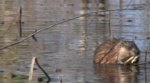 Swimming Muskrat, Enters From Left, Stops, Peels, Eats Emergent Vegetation, Exits Left