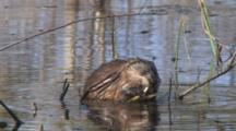 Swimming Muskrat, Enters From Left, Stops Midframe Grasping ,Peels, Eats, Emergent Vegetation, Exits Left