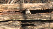 Eastern Chipmunk On Tree, Scared, Dives Into Hole, Re-Appears, Looks Into Sky