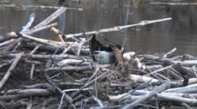 Canada Goose Preparing Nest, Turning, Sitting, Using Feet To Twist And Pull Material Into Position