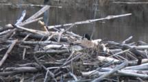 Canada Goose Preparing Nest On Beaver Lodge, Pulling Material Toward Nest