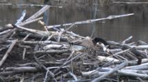 Canada Goose Hen Building Nest On Beaver Lodge, Selecting Small Twig, Placing Near Side