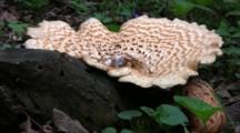 Large Polypore Squamosus Mushrooms On Stump