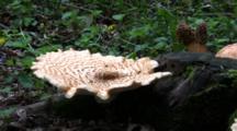Polypore Squamosus Mushroom On Stump, Morel Mushrooms In Bground