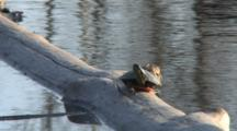 Painted Turtle On Log, Looking Back Over Shell
