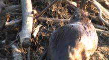 Beaver Carrying Branch Through Water, Places On Lodge