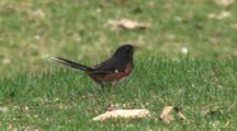 Eastern Towhee Feeding On Ground, Watching Sky, Startled, Exits
