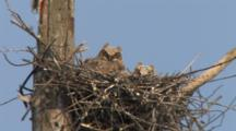 Great Horned Owl Chicks In Nest In Tree Looking At Camera, Blue Sky In Bg
