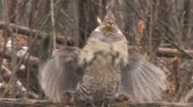 Ruffed Grouse Standing On Log In Falling Snow, Drums Wings In Display