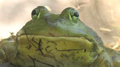 Bullfrog Face, Closeup, Looking At Camera