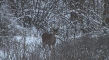 White Tail Buck Deer Standing In Snow, Brush, Walks To Right