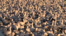 Full Frame Close Up Of Snow Goose Flock