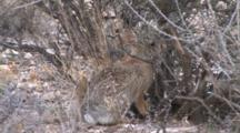 Desert Cottontail Chewing Plant Base