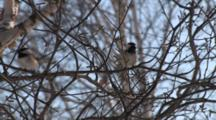 Black Capped Chickadee In Tree, Calling, Another Enters, Both Exit
