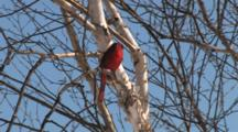 Northern Cardinal Sitting In Birch Tree, Exits Bottom